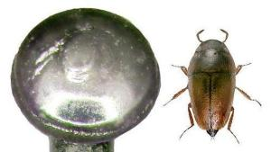 Un escarabajo más pequeño que la cabeza de alfiler (Foto)