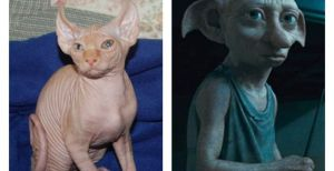 """Una raza de gatos ahora se llama """"Elfo"""" (Foto+Observa por qué)"""