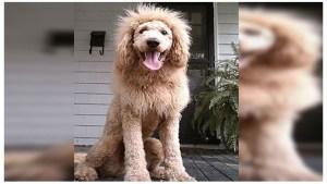 Parece león, mete miedo, pero es un perro (Foto)