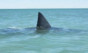 Miles de tiburones se pasean frente a las costas de Florida
