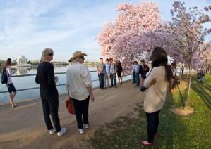Los cerezos japoneses de Washington (Fotos)