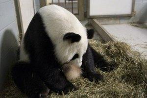 Nacen los primeros gemelos panda en EEUU
