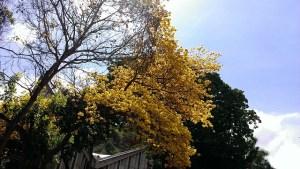 Tiempo de Araguaney en flor en Prados del Este (fotos)