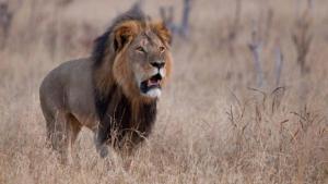 ¿Qué se conoció de Cecil, el león?