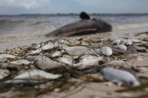 Una marea tóxica ataca en Florida: 4.300 animales muertos y 15 personas infectadas (FOTOS)