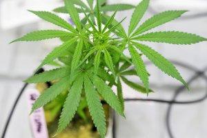 Tailandia inicia el suministro marihuana medicinal a pacientes con cáncer