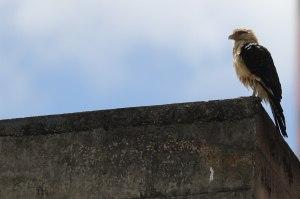 Si el gavilán se comiera…hasta un gavilán esperó a Guaidó en la UCV (FOTOS)