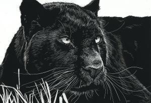 Fotografiaron por primera vez en 100 años al mítico leopardo negro
