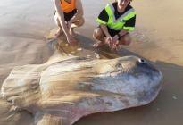¡Increíble! Encuentran monstruoso pez luna en una playa de Australia (Fotos)