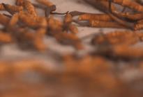 Coge dato: Conoce el viagra del Himalaya, el hongo afrodisíaco más caro que el oro (Video)