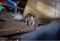 En Nueva York los humanos y las ratas comparten las aceras