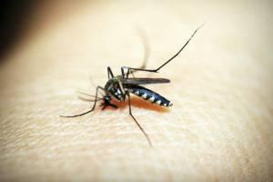 Investigación descubrió hongos transgénicos matan al mosquito de la malaria