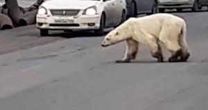 Una osa polar se pasea por una ciudad rusa buscando comida (VIDEO)