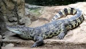 Un cocodrilo que perteneció a Fidel Castro mordió a un hombre en un acuario sueco
