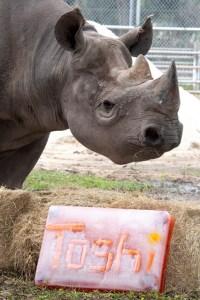 Rinoceronte negro en peligro de extinción celebra cumpleaños histórico en el zoológico de Miami