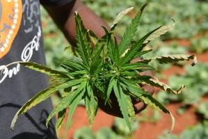 Florida defiende constitucionalidad de la ley de marihuana