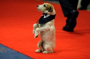 """""""Uggie"""", el terrier de """"El Artista"""", es coronado como el mejor perro de película en Cannes (Fotos)"""
