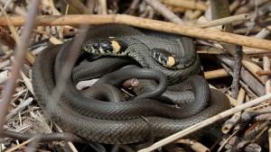 ¡Increíble! Una de las serpientes más letales del mundo lo mordió dos veces…pero logró sobrevivir