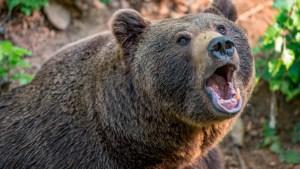¡Al borde de la muerte! Abuela enfrentó a un oso cara a cara y se salvó de ser atacada