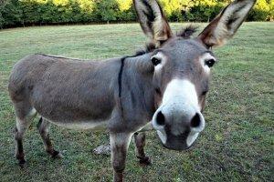 Científicos de Israel descubren peligroso parásito en burros… y podría afectar a los humanos