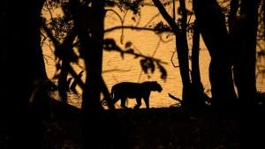 Duelo de titanes: graban una batalla entre un tigre de Bengala y un oso (VIDEO)