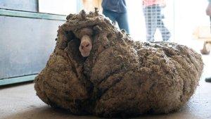 Hallaron a una oveja salvaje con 35 kilos de lana encima: estaba enferma y casi ciega
