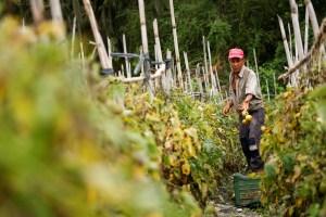 En Venezuela, los alimentos se pierden en el campo mientras la gente muere de hambre
