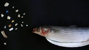Perdió su anillo de boda y apareció encajado en el cuerpo de un pez (Fotos)