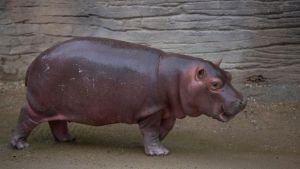 Un hipopótamo bebé es la nueva atracción de un zoológico mexicano (FOTOS)