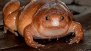 """La curiosa """"rana zombie"""" en el Amazonas que solo emerge de la tierra cuando llueve"""
