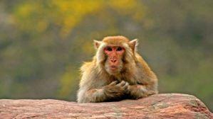 Un mono atormenta a una aldea india: Lo llevaron a 22 kilómetros pero regresó para vengarse